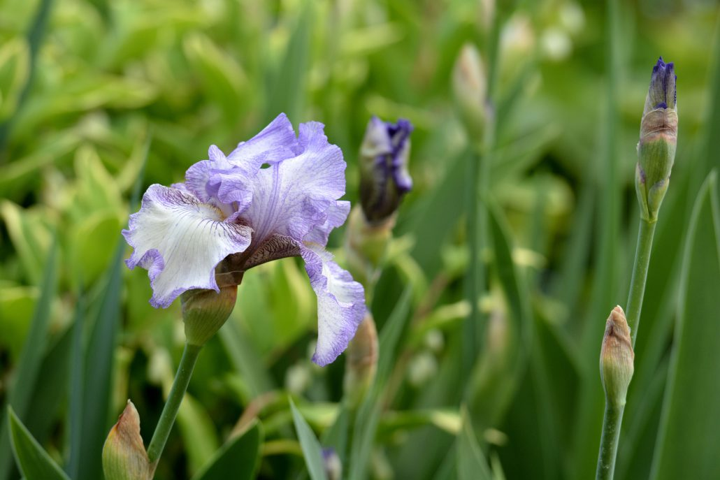 Iris Autumn Circus