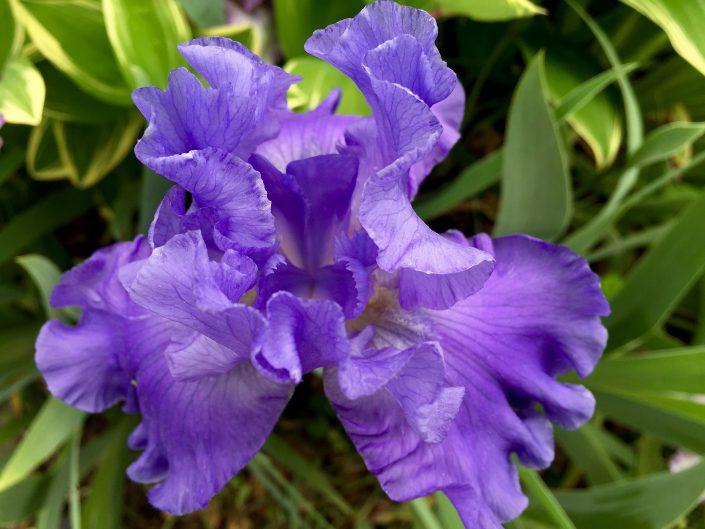 Iris Germania Blue Rhythm