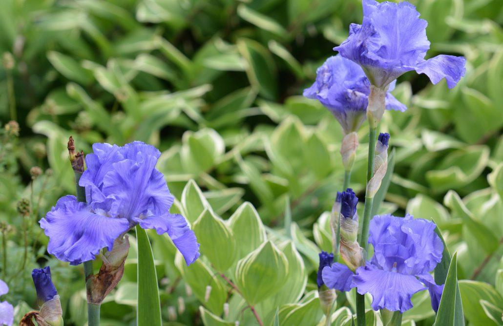 Iris Germanica Blue Rhythm