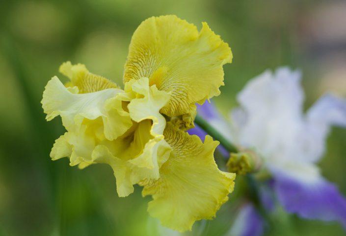 Bearded Iris Yellow