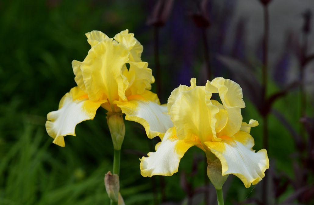 Bearded Iris Yellow White