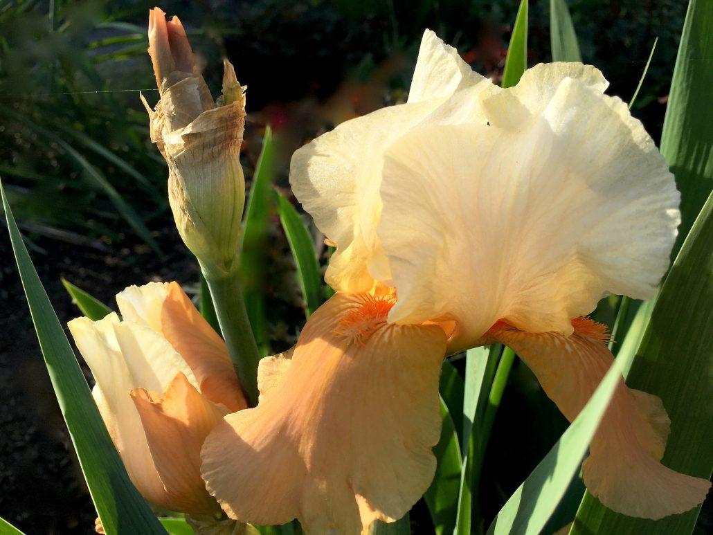 Bearded Iris Peach Melba