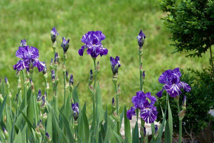 Iris Purple White Stripes