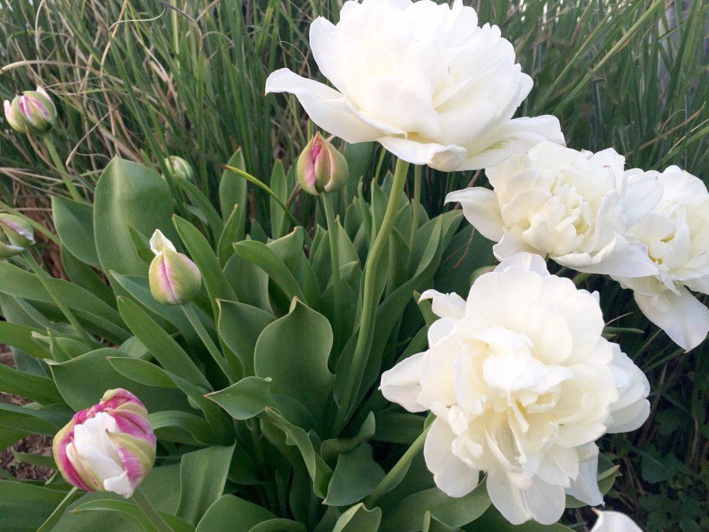 Double Peonie Tulips