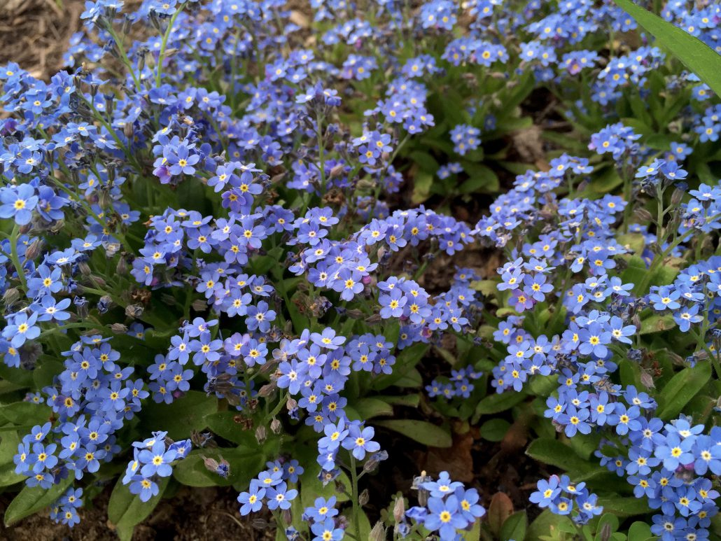 Forget-Me_Not