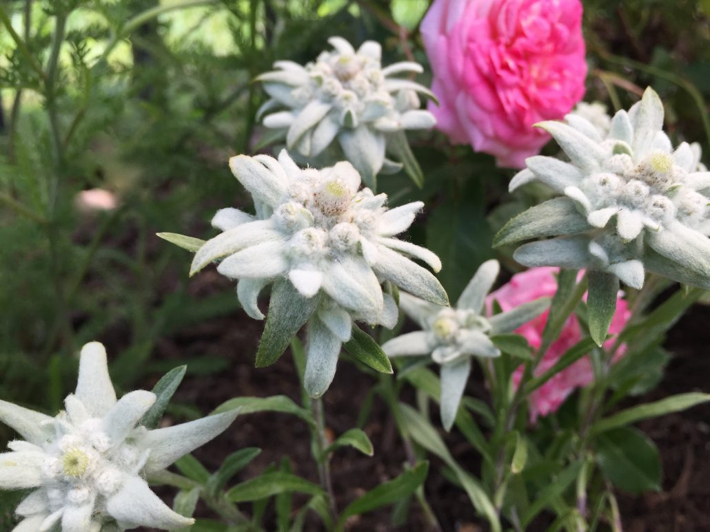 Edelweiss