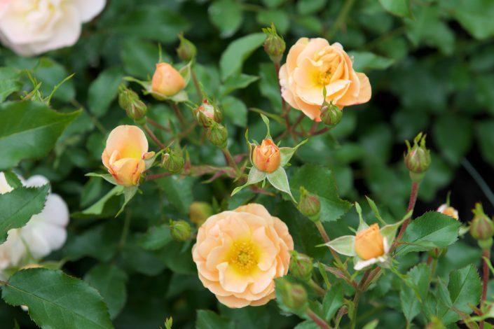 Amber Drift Rose