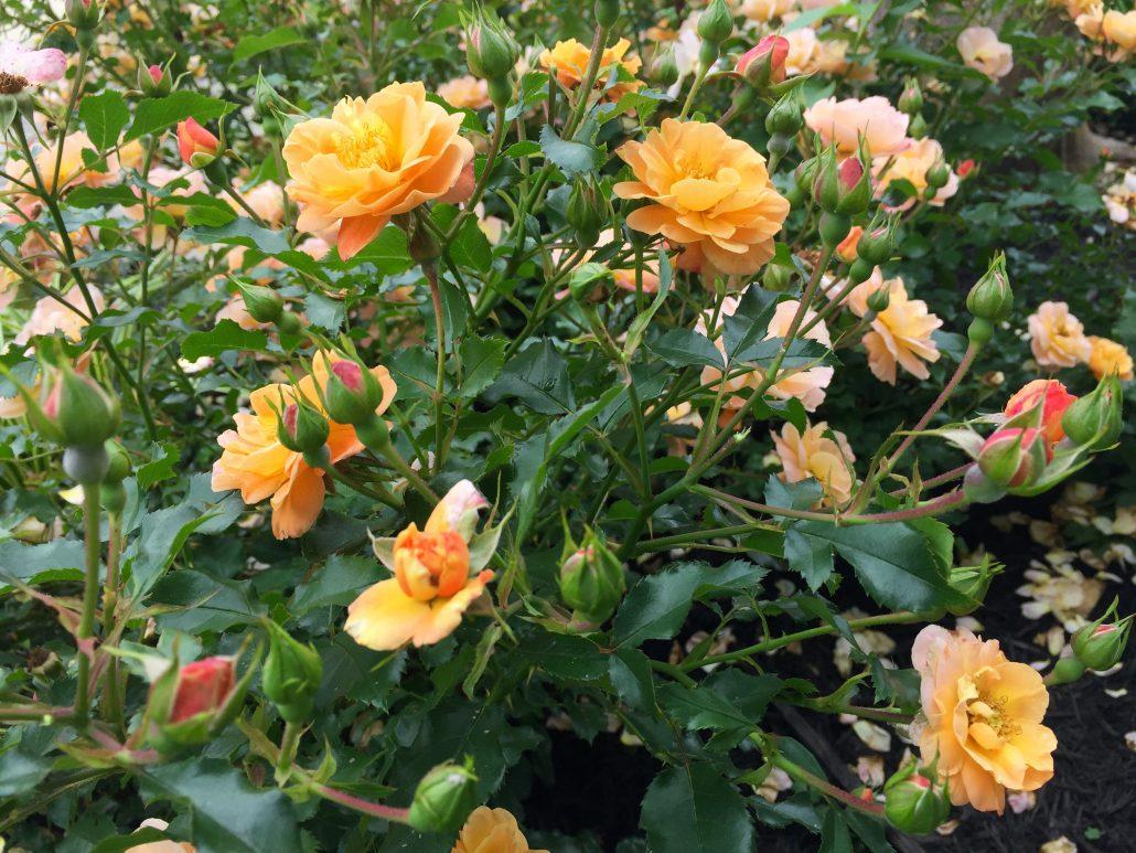 Drift Rose Amber