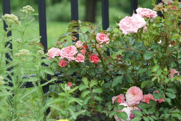 Sweet Drift Rose