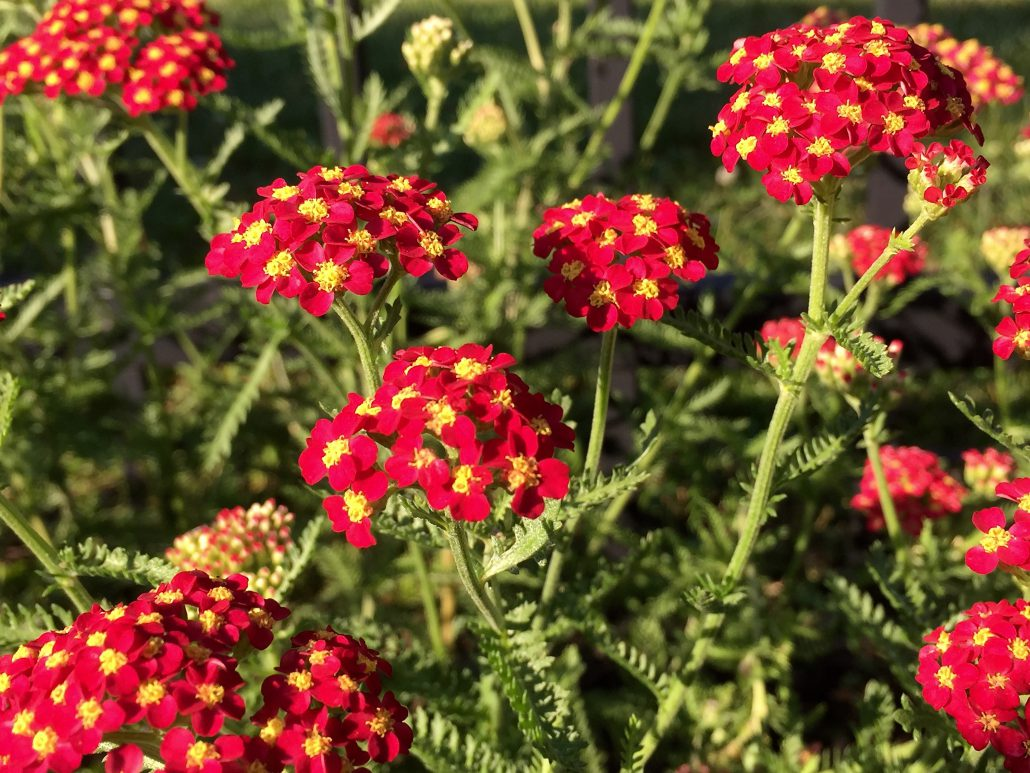 Yarrow Red