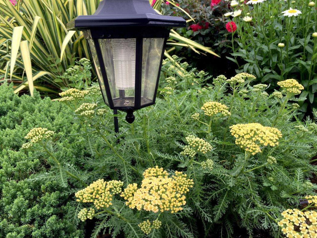 Yarrow Yellow