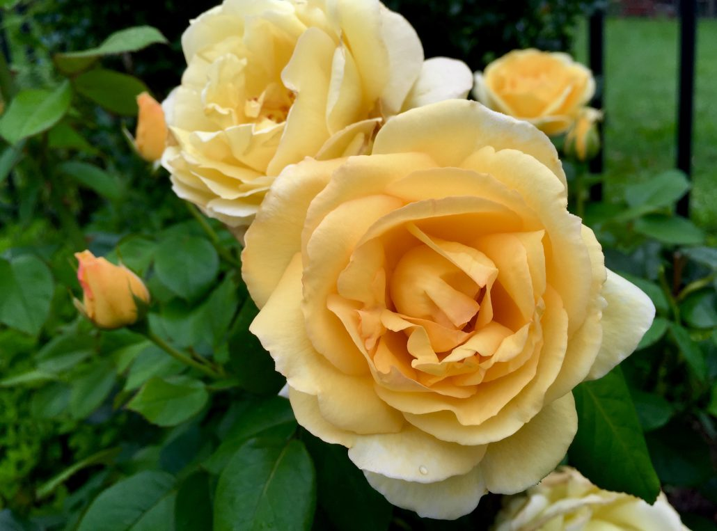 English Tearose