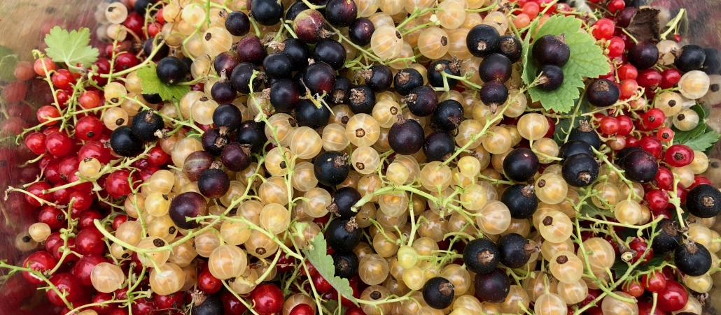 Currants for homemade jam and jellies