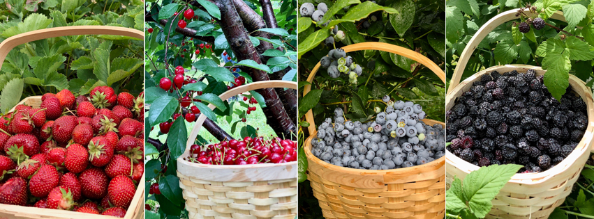 Fruit picking for homemade jam and jellies